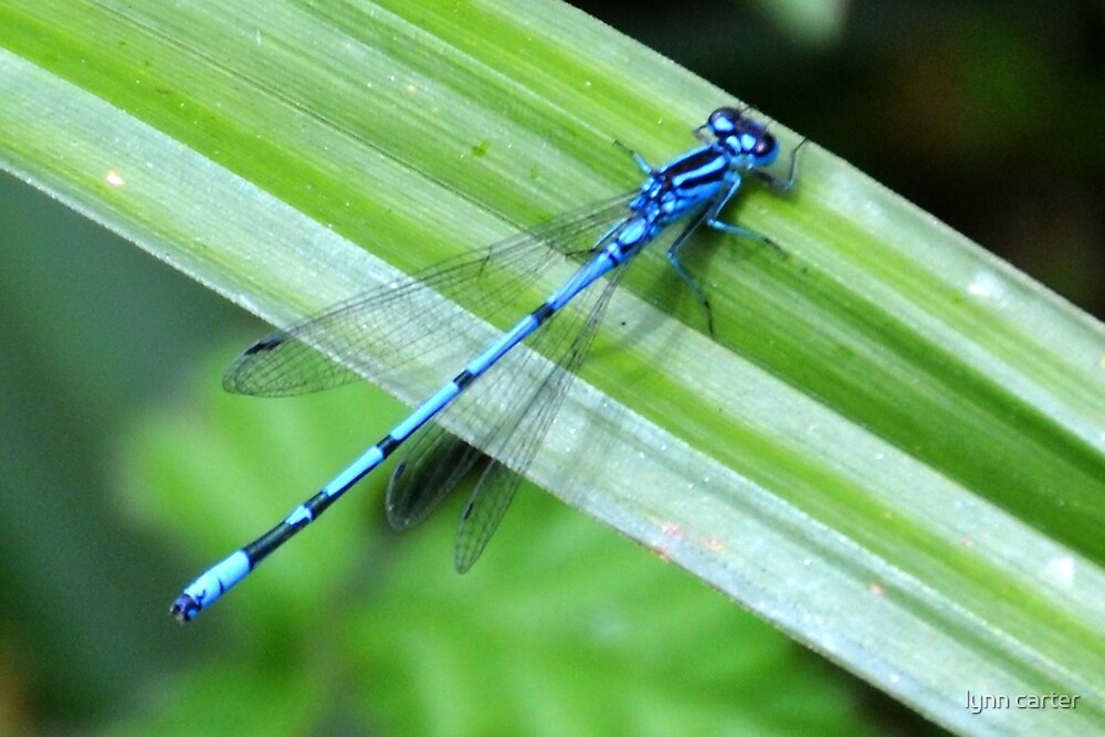 Blue Damselfly at Mangerton Mill,Dorset UK by lynn carter