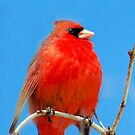 Proud Cardinal by Crystal Wightman