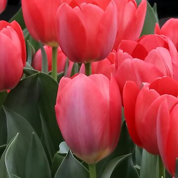 Signs of Spring Pink Tulips by LazyL