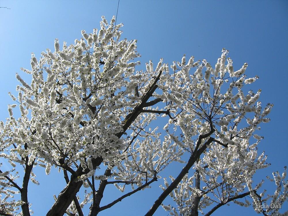 Snow-white blossoms against the blue sky by Lidiya