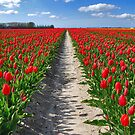Tulips on Flakkee by Adri  Padmos