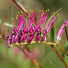 Autumn Pink Grevillea  by Joy Watson