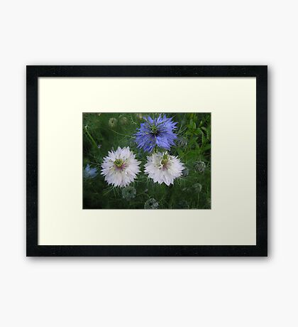 Fairy on love-in -the mist Framed Print