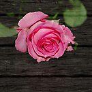 Pink Rose on Wood by Crystal Wightman