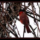 COLD CARDINAL by BOLLA67