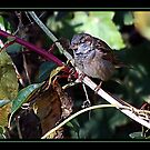 PERCHED SPARROW by BOLLA67