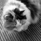 Tibbs the cat by Niamh Harmon