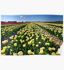 More tulips from Flakkee Poster