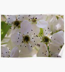 Ornamental pear tree blossoms - Ann Arbor, Michigan Poster