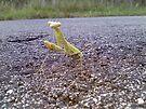 Praying Mantis by Cathy Jones