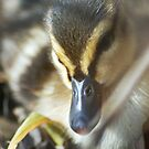 Baby Duckling by Niamh Harmon