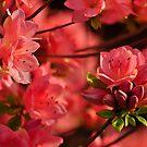 Pink Azalea   by Corkle