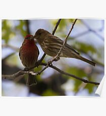 Kissing House Finches Poster