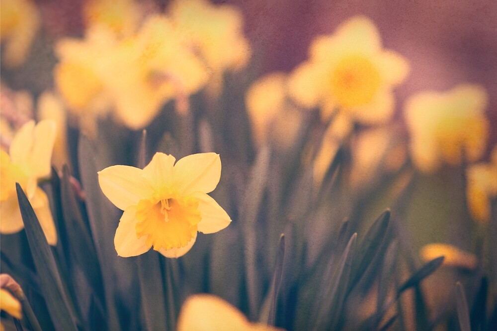 Daffodils by gwenkrueger