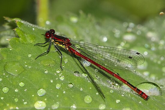 Damselfly Sparkle by Suzy Shipman