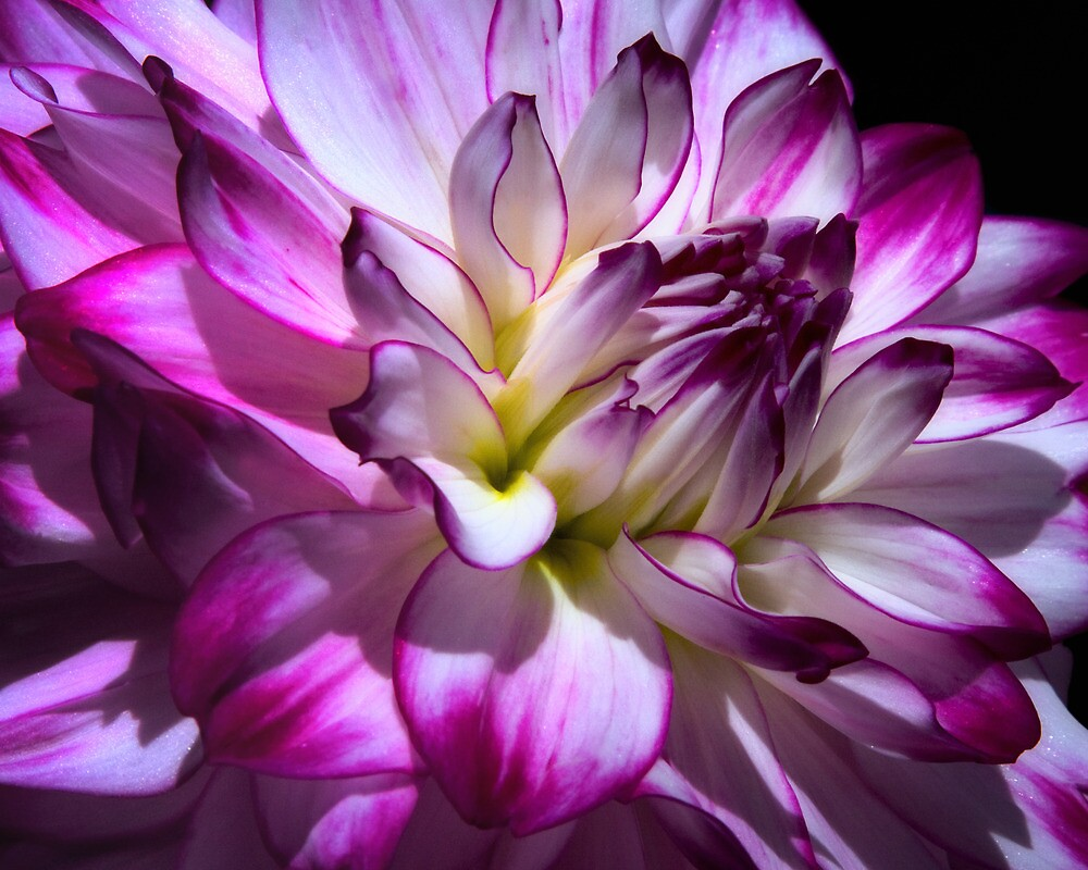 Dahlia by Margaret Barry