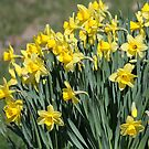 Spring Daffodils In Vermont by Deborah  Benoit