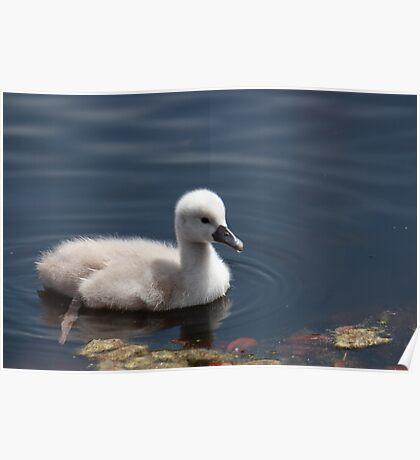 Mute Swan (cygnet) Poster