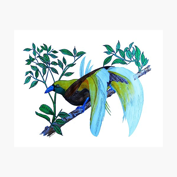 Lesser Birds of Paradise Photographic Print
