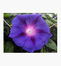 Morning Glory flower Photographic Print