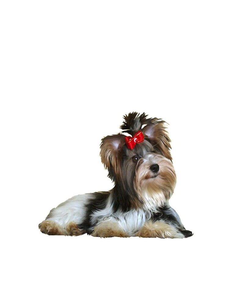 Yorkshire Terrier (Biewer - lying down) by JeanBFitzgerald