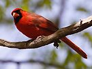 Cardinal male by Dennis Cheeseman
