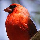 Cardinal male by Dennis Cheeseman
