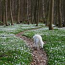 Strolling in the anemone wood (Denmark) by Trine