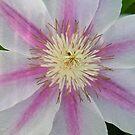 Clematis Vine Flower by BShirey