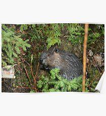 Canadian Beaver kit Poster