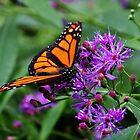Monarch auf purpurroten Blumen von Cynthia48