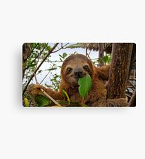 Baby Brown throated Three toed sloth Canvas Print