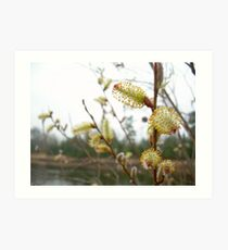 Pussy Willow Blossoms Art Print