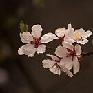 Spring Tree Flowers by John  Sperry