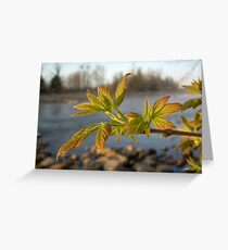Box Elder leaves in Dawn light Greeting Card