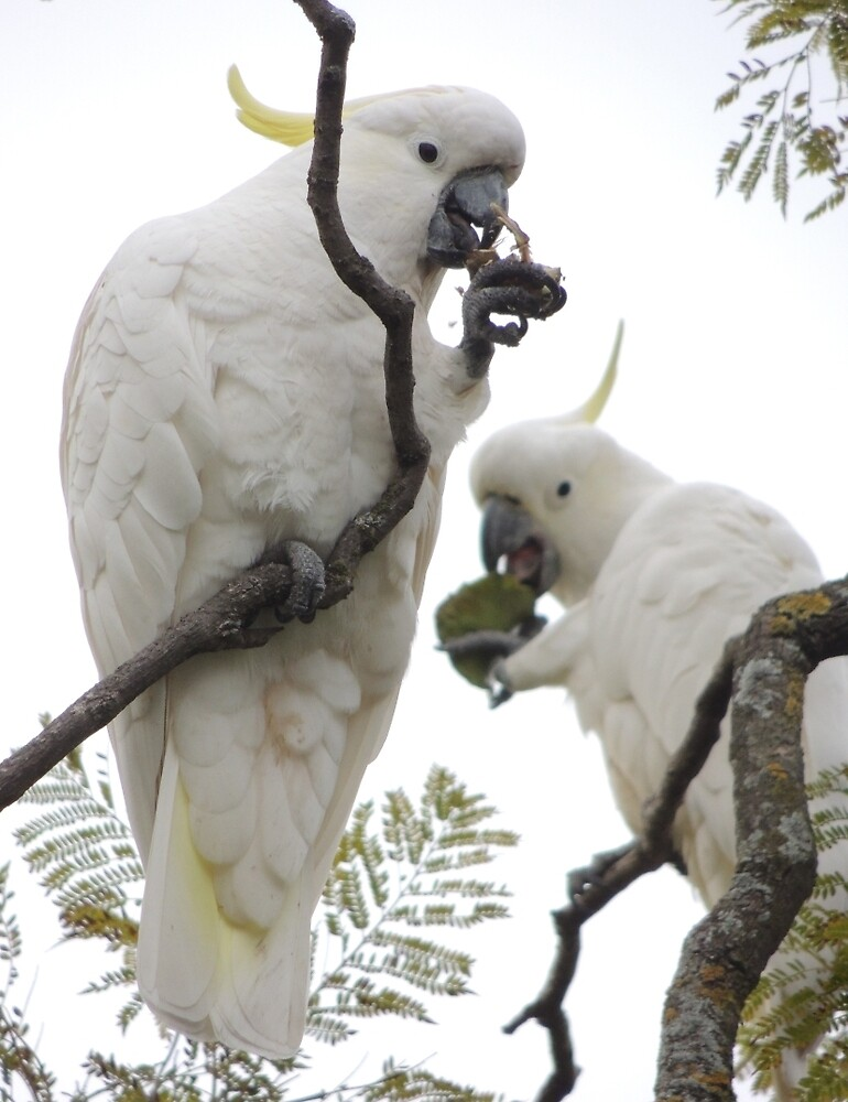 Sulfur-crested cockatoos - Snack time by Dan Monceaux