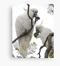 Sulfur-crested cockatoos - Snack time Canvas Print