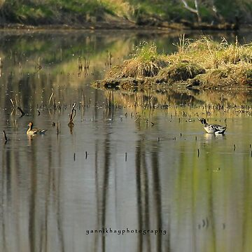 Northern Pintail / Canard pilet by Photograph2u