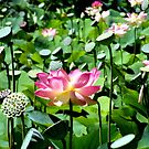 Lotus. by elizabethrose05