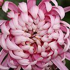 Chrysanthemum by AnnDixon