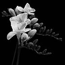 White Freesia by Ray Clarke