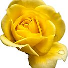 Yellow Rose by Philip Northeast