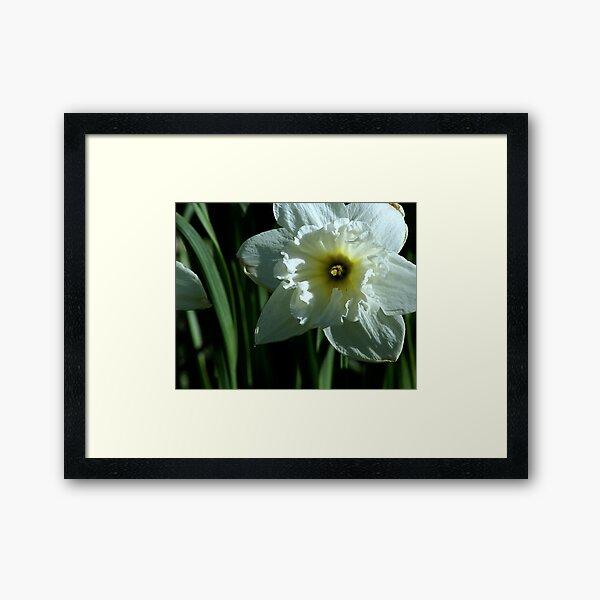 White Daffodil Framed Art Print