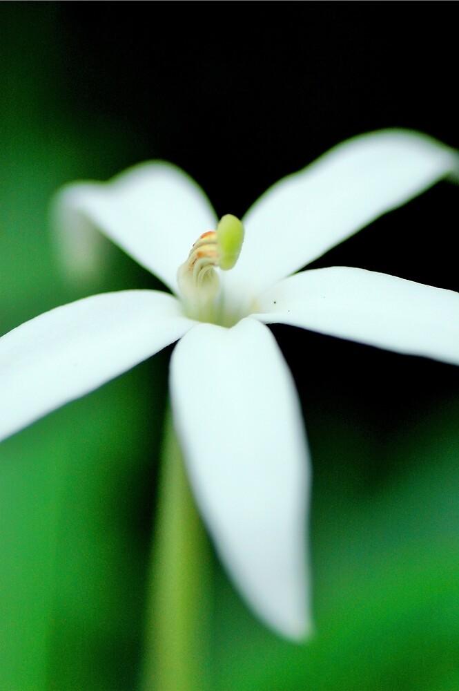 Hippobroma longiflora by vrocampo