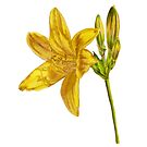 Yellow Lily Watercolor by HAJRA MEEKS