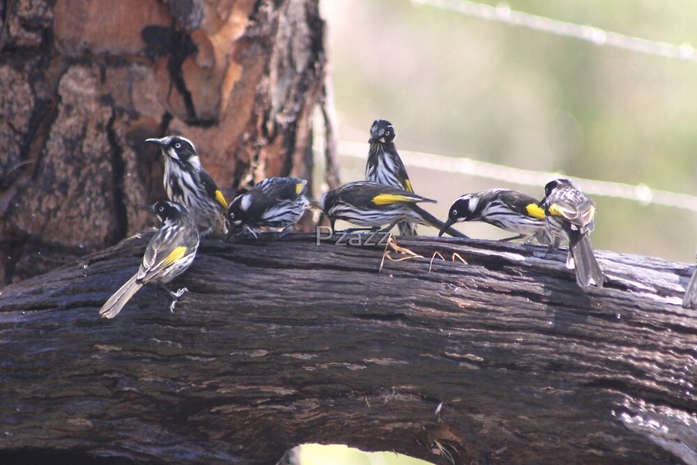 Honey Eater Gallering by Pzazz