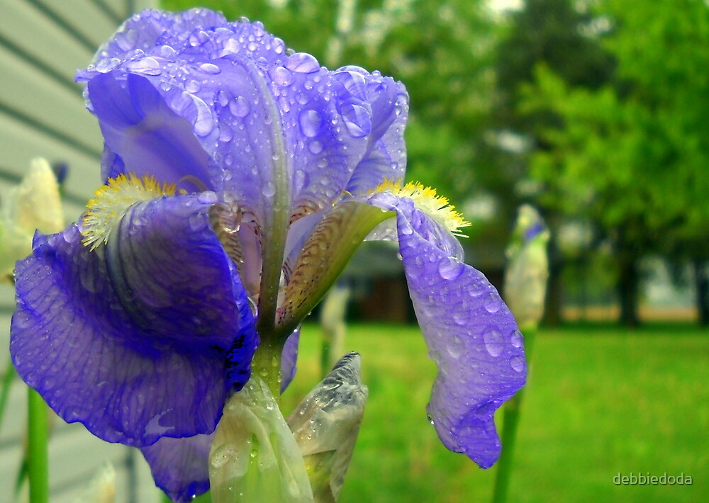 First Iris Bloom of the Season by debbiedoda