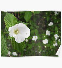 white blossoms Poster