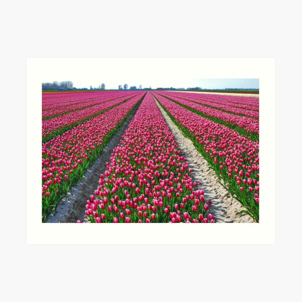 Other colors but the same flowers: Tulips.....!! Art Print