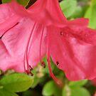Azelea blossom by Jamaboop